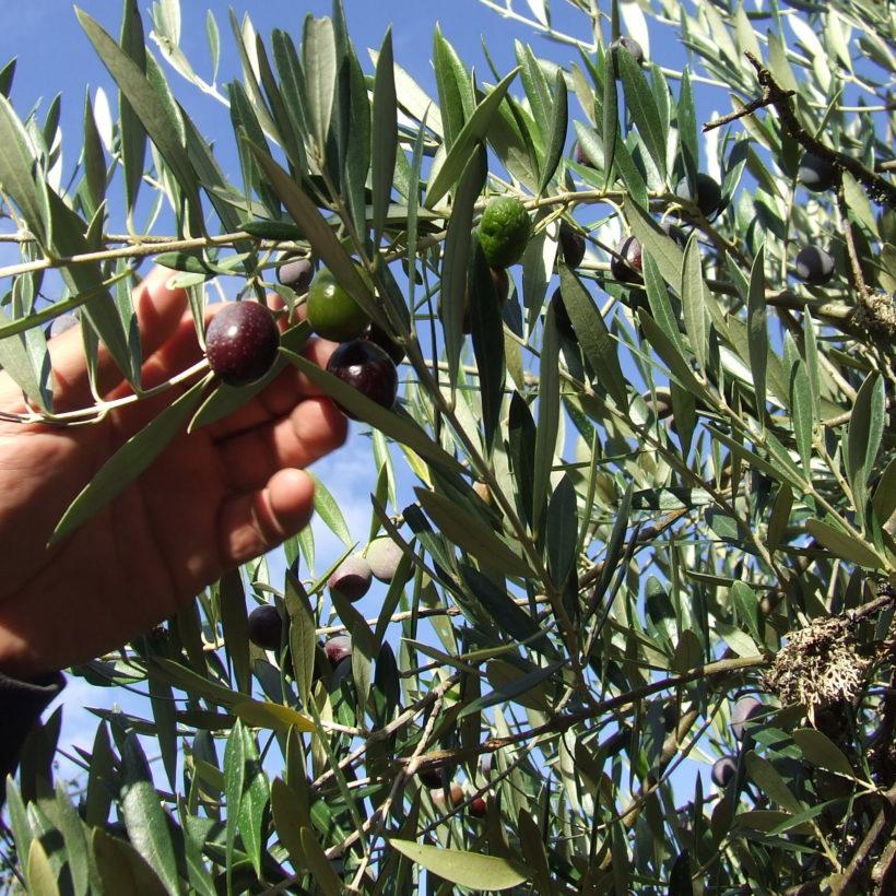 Participamos na xornada divulgativa sobre o aceite de oliva virxe organizada pola Universidade de Vigo