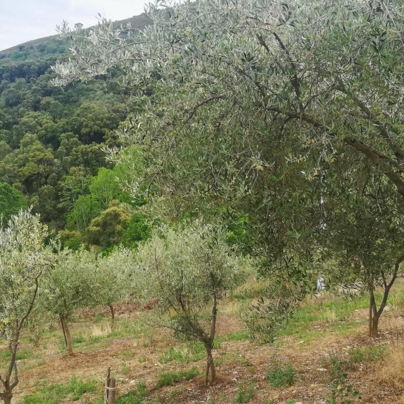 A Asociación de Produtores de Aceite e Aceituna de Galicia participa nun encontro sobre oportunidades de negocio no cultivo das oliveiras